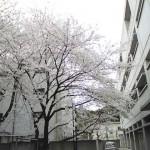 20080330sakura2