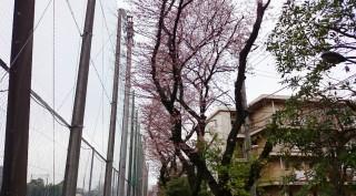 2015sakura01.pic