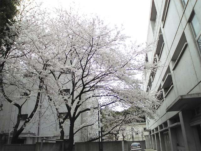 2008sakura01