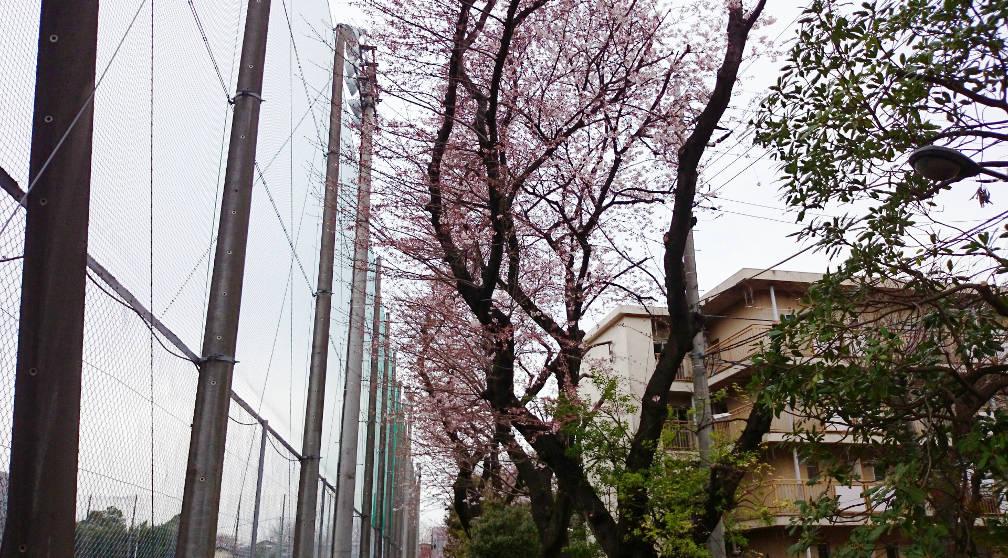 201503sakura01