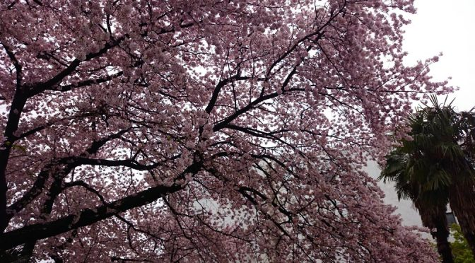 2017年桜~さくら~サクラ~♪